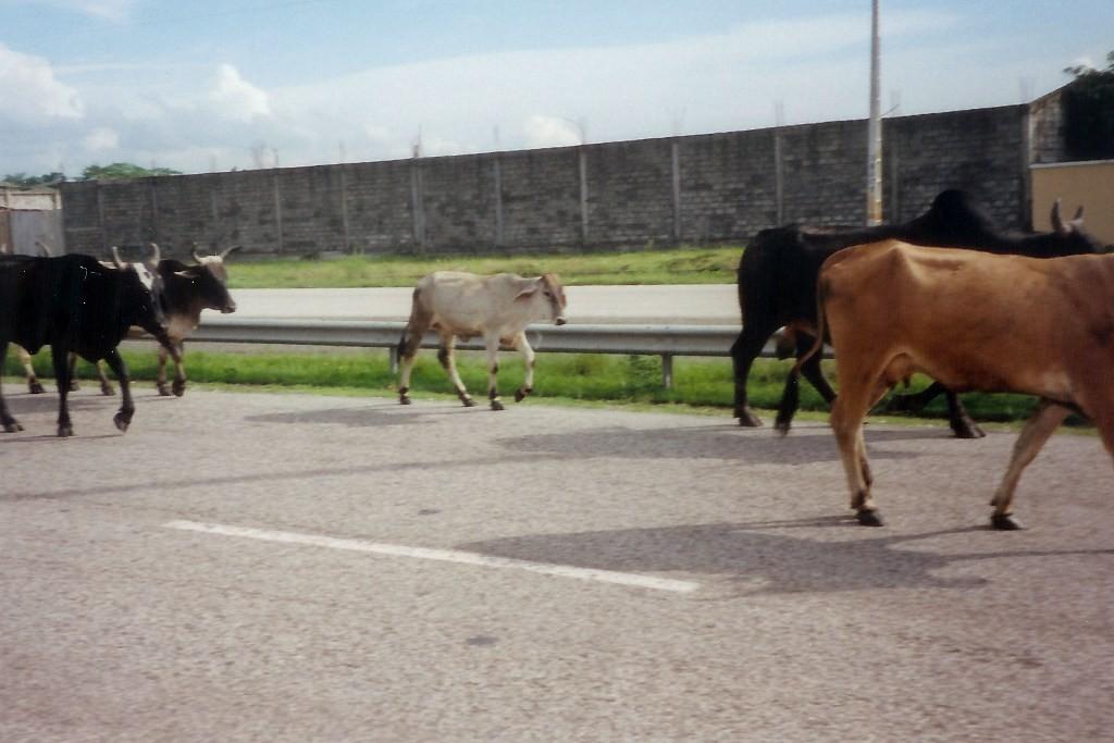 ...etwas andere Verkehrsteilnehmer vor Guayaquil