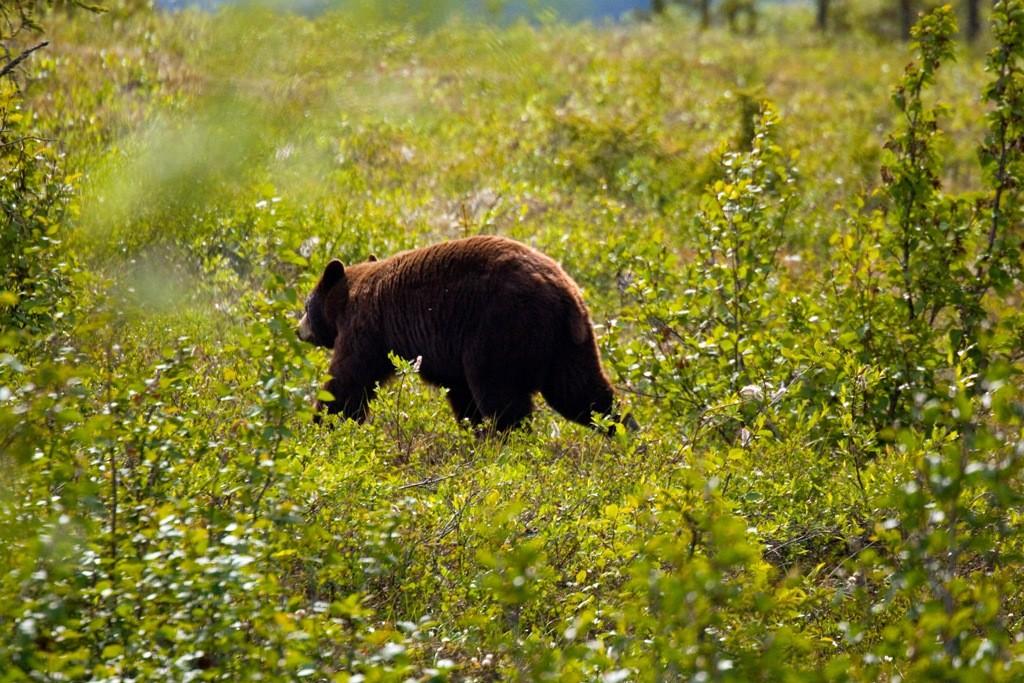"""Unser erster junger Grizzlybär trollt sich ins """"Unterholz""""!"""