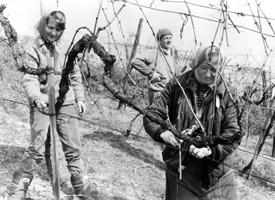 Weingarten schneiden 1989