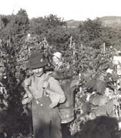 Weinlese im Jahr 1945