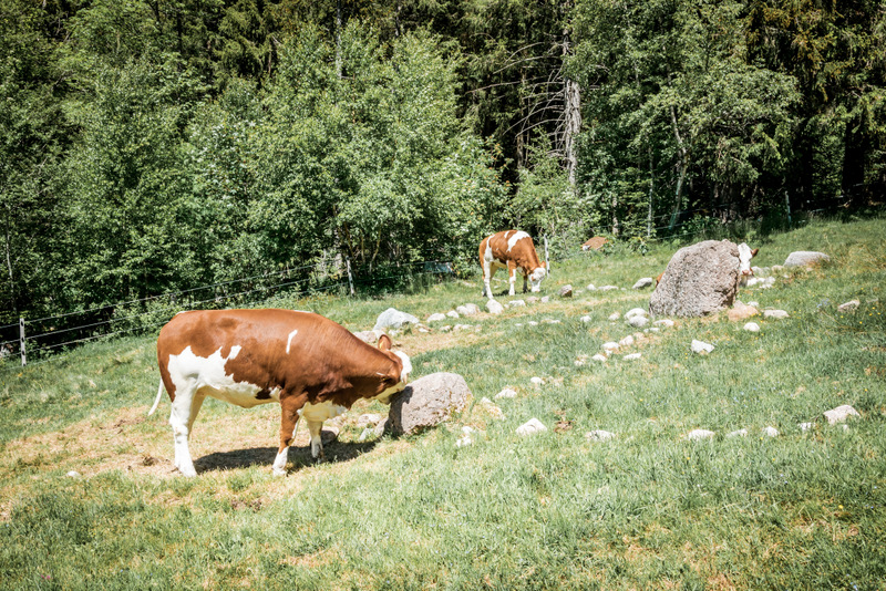 Glückliche Kühe am Wanderweg zum Menzenschwander Wasserfall