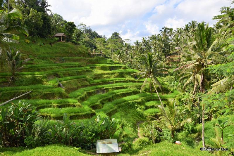 Tegalalang Reisterassen, Ubud, Reisfelder, Bali