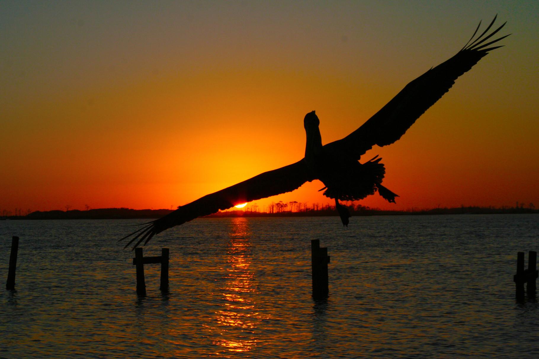 04_Pelikan (pelican) in Fort Walton Beach in Florida