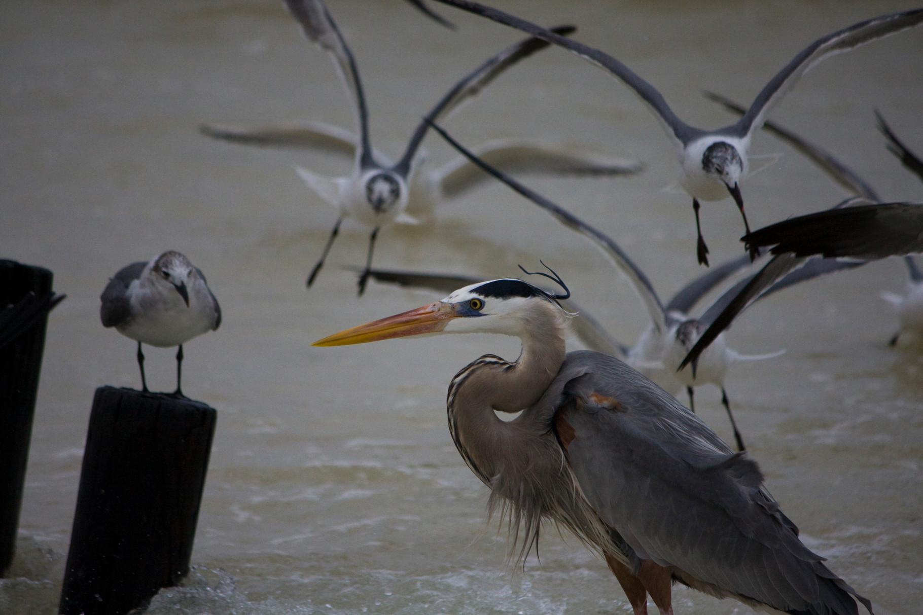 04_Möwen (gulls) umringen einen Graureiher (great blue heron) in Fort Walton Beach in Florida