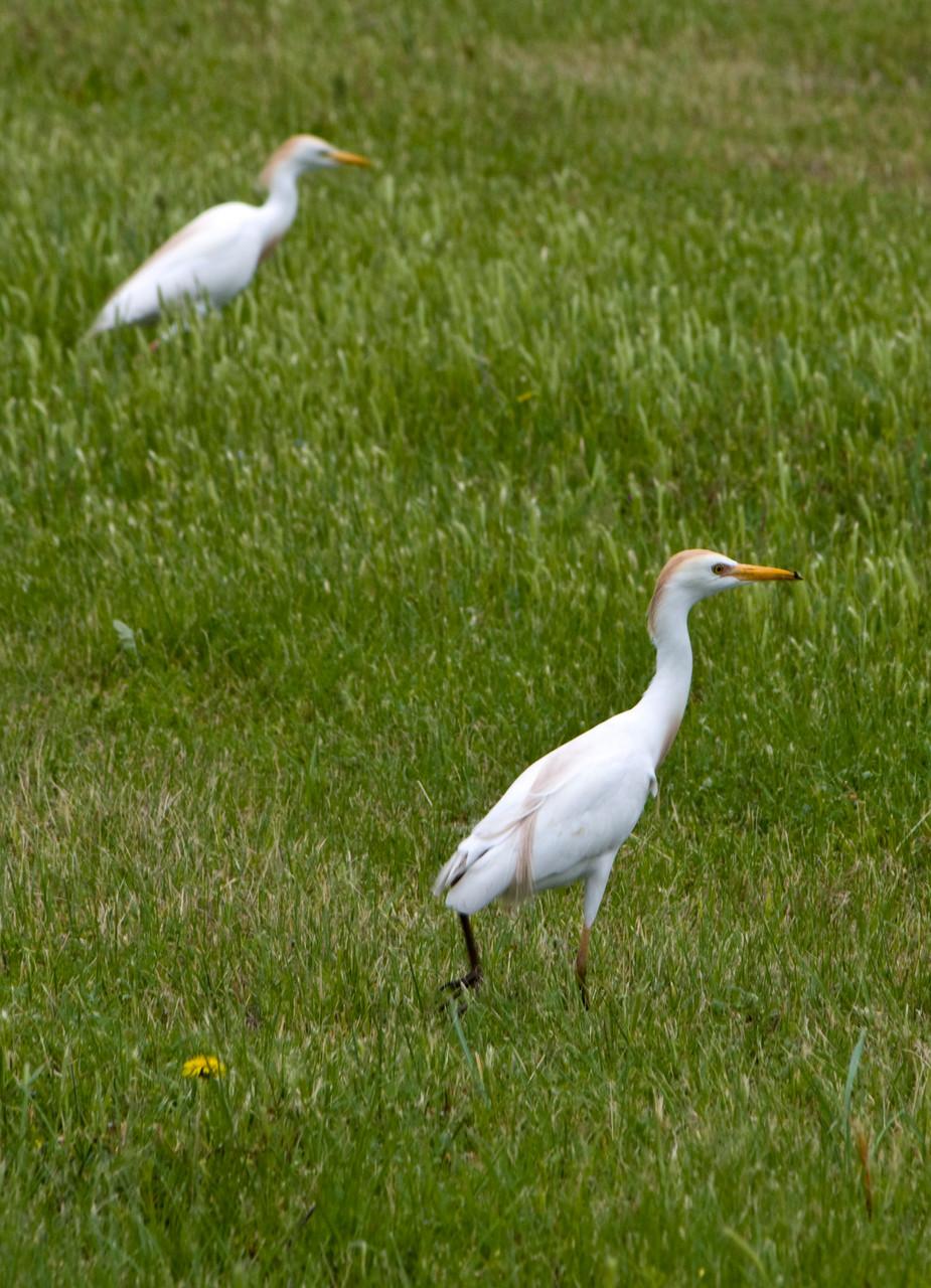06_Silberreiher (egret) in Fort Walton Beach in Florida