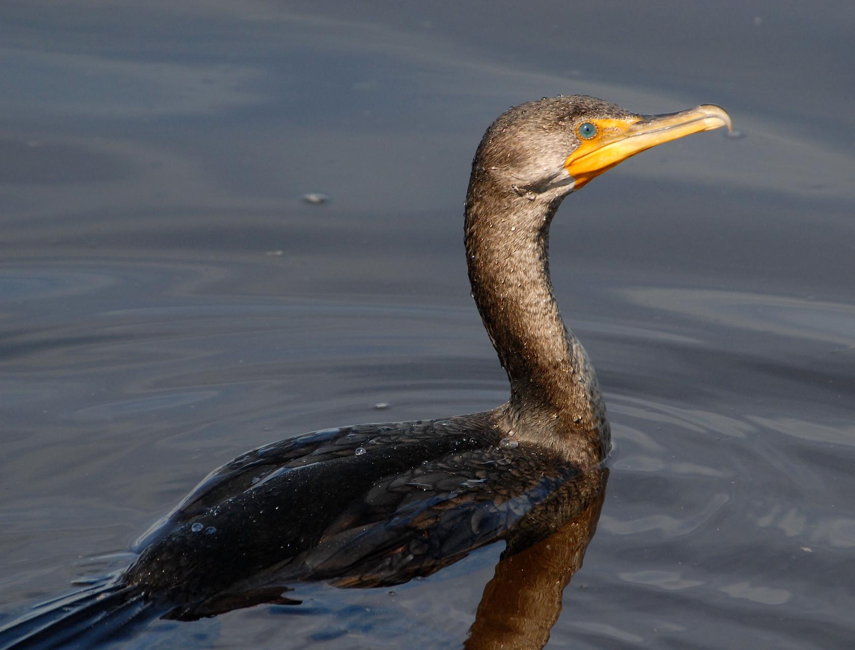 01_Kormoran (cormorant) in Fort Walton Beach in Florida