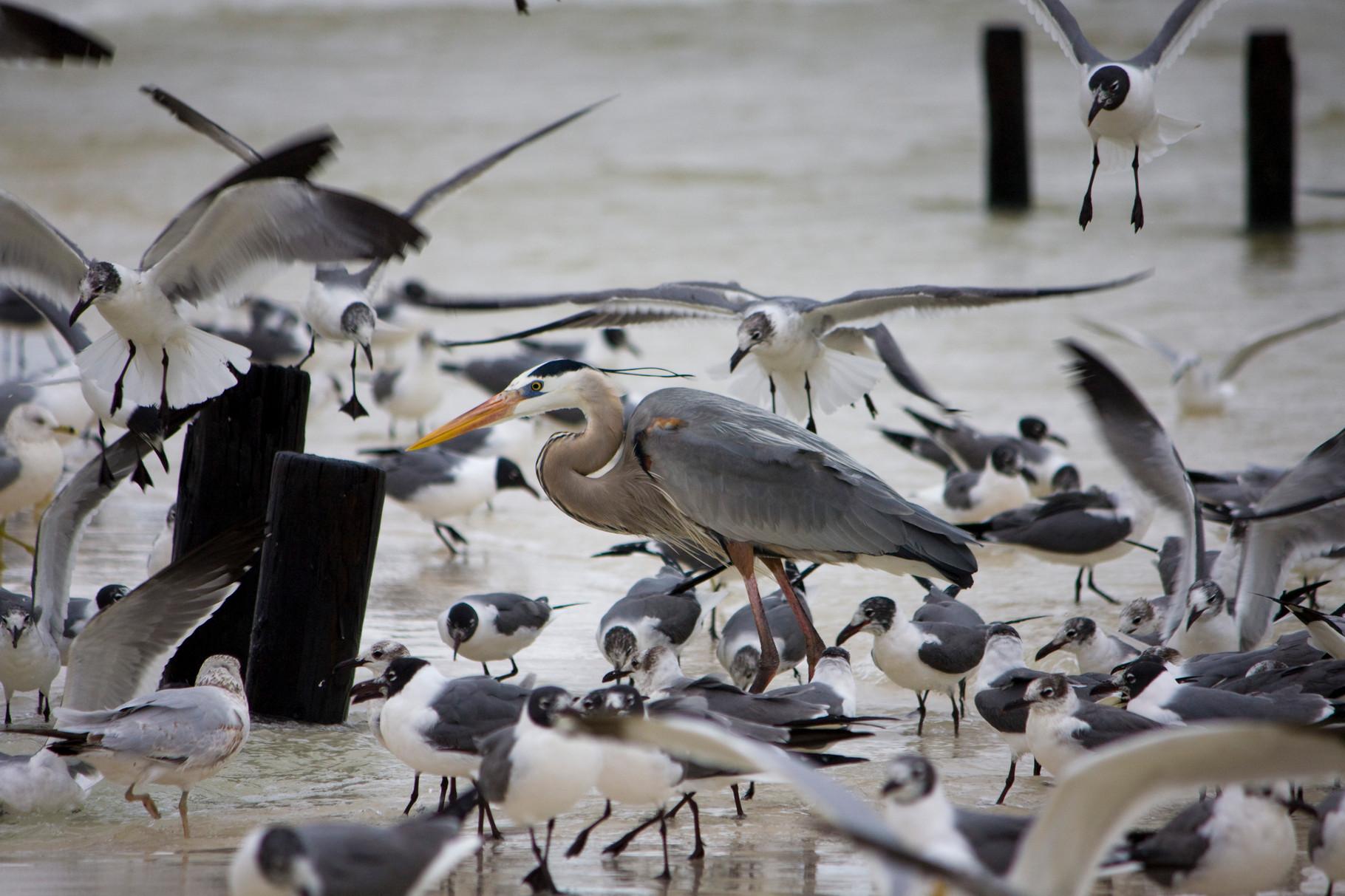 03_Möwen (gulls) umringen einen Graureiher (great blue heron) in Fort Walton Beach in Florida