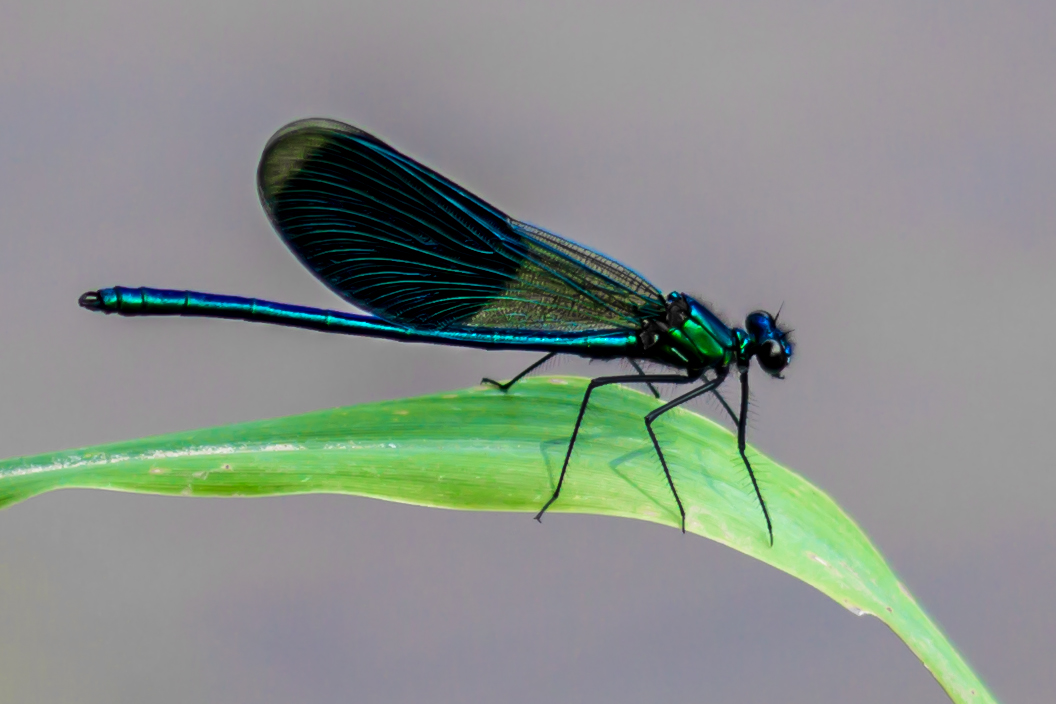32_Libelle im Naturschutzgebiet Mönchbruch.