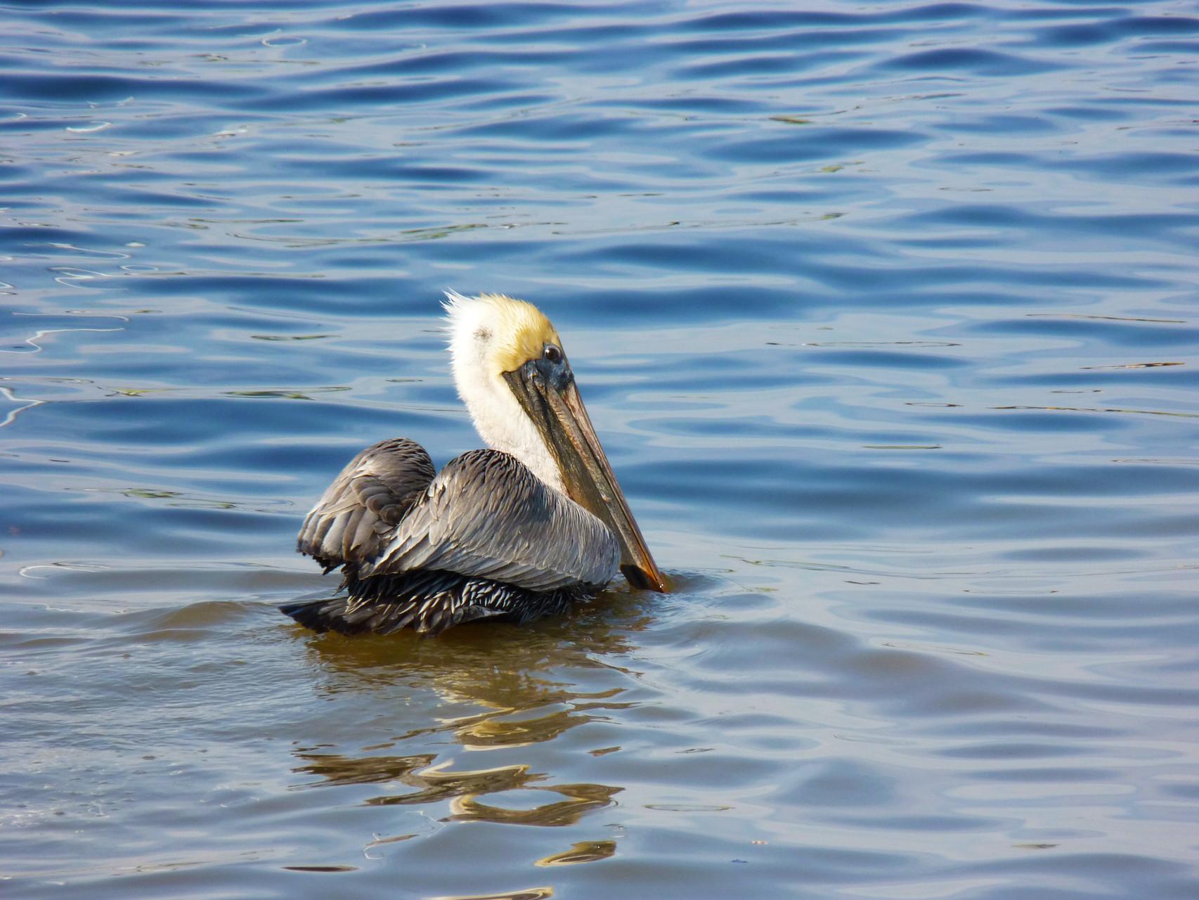 03_Pelikan (pelican) in Fort Walton Beach in Florida