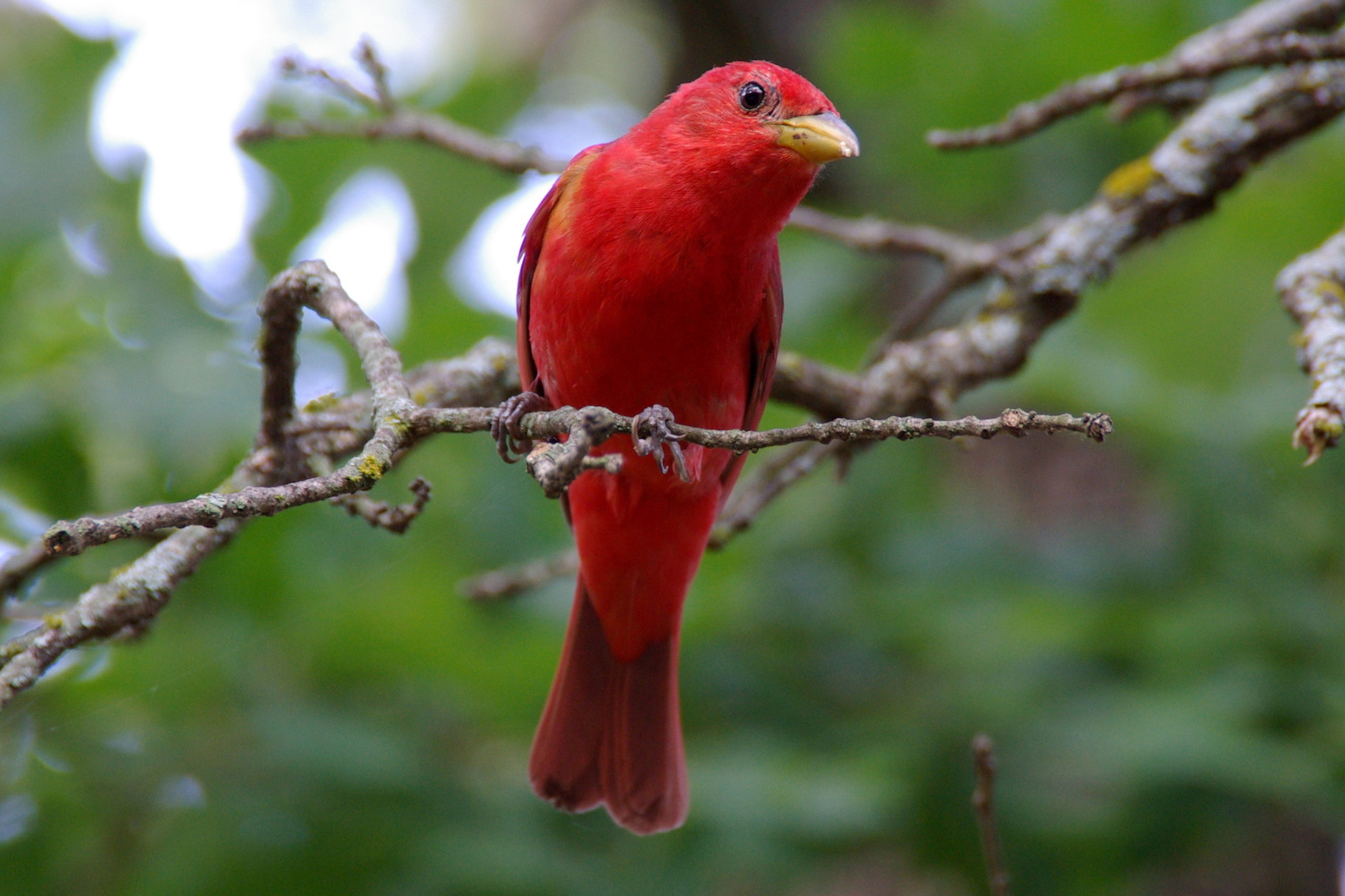 03_Summer Tanager in Wichita Mountain in Oklahoma
