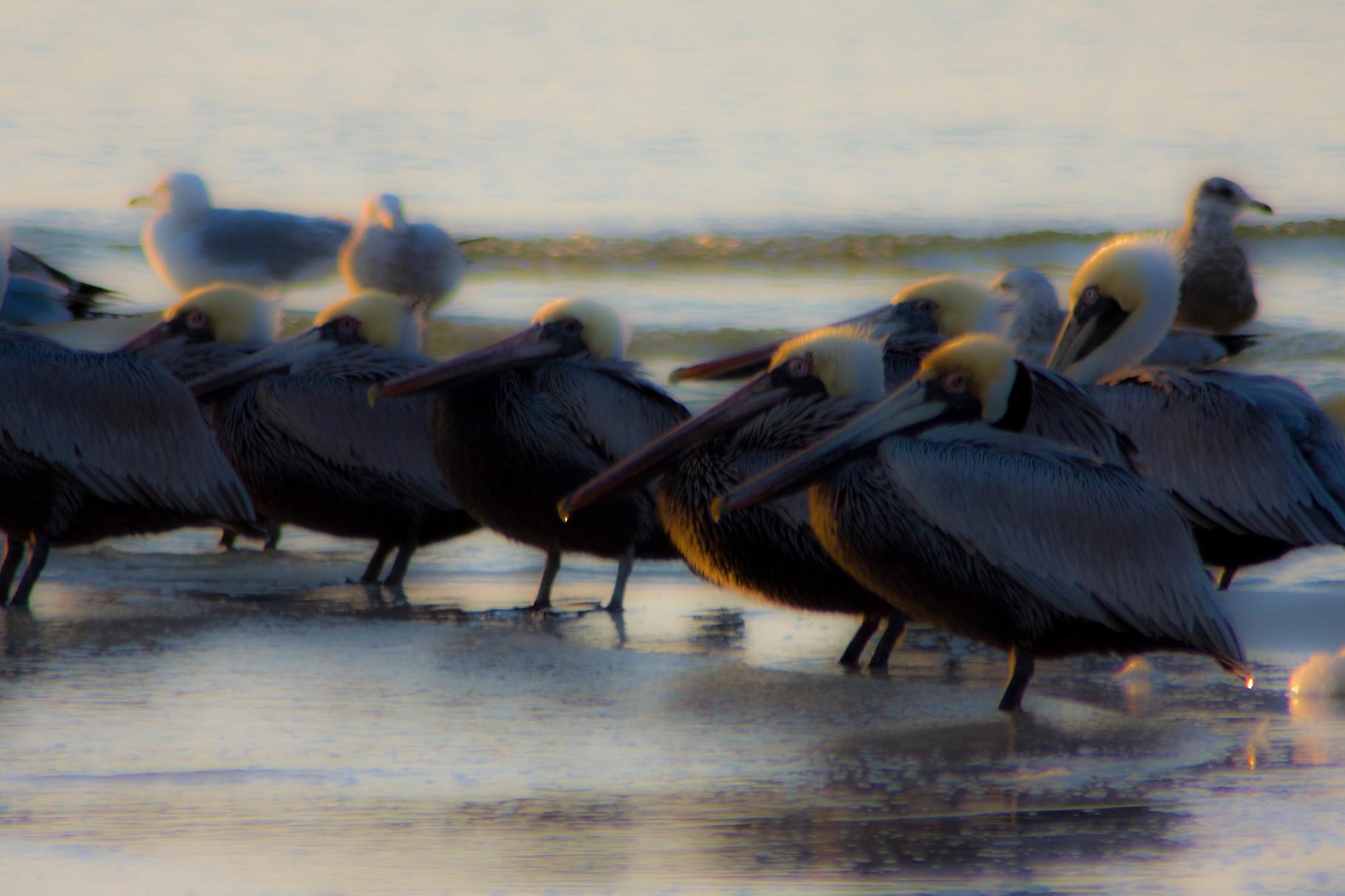 08_Pelikane (pelicans) in Fort Walton Beach in Florida