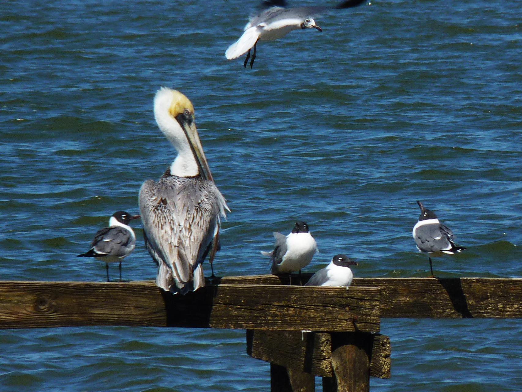 06_Pelikan (pelican) in Fort Walton Beach in Florida