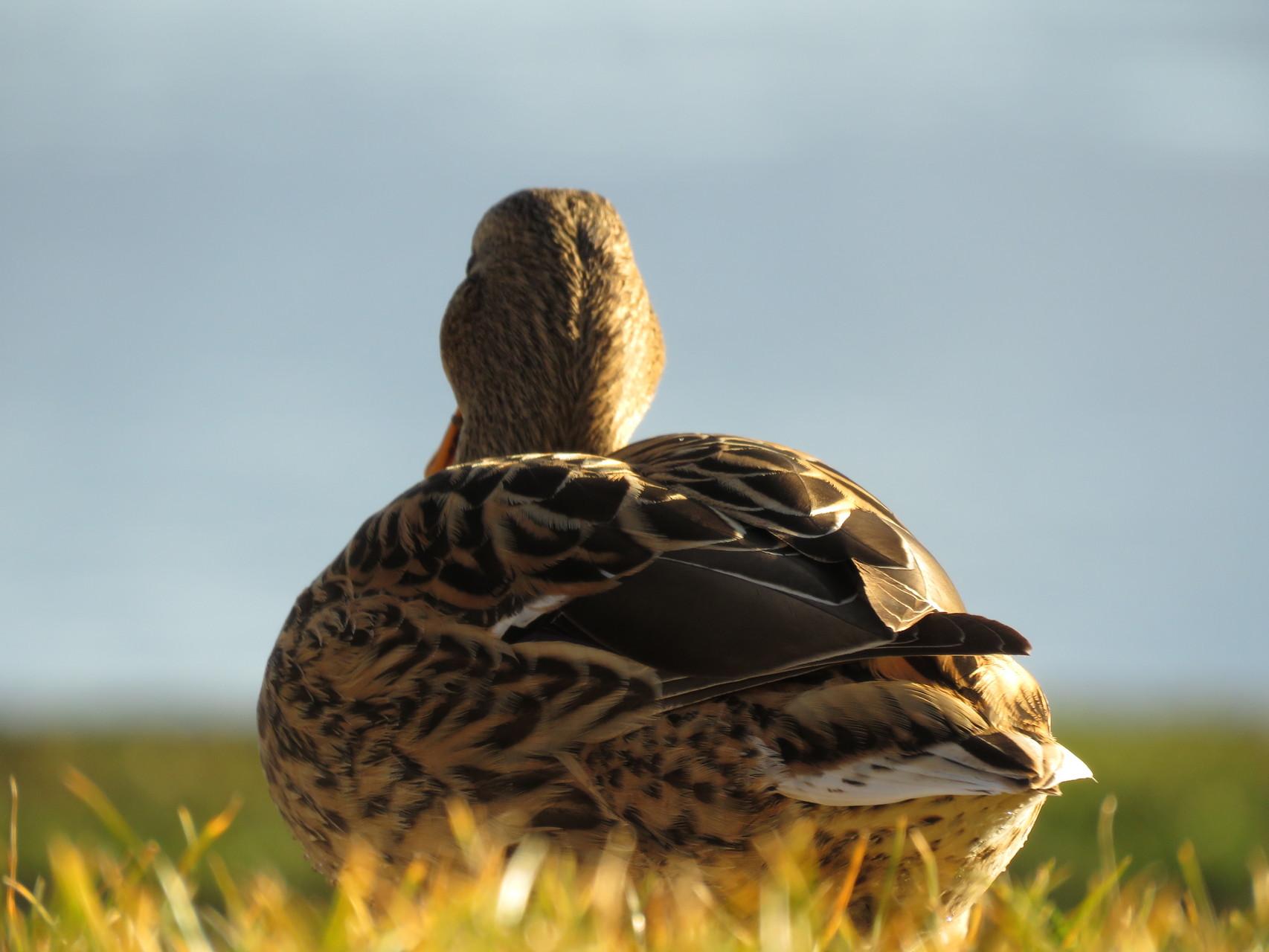 27_Ente mit Blick in die Ferne am Chiemsee in Bayern