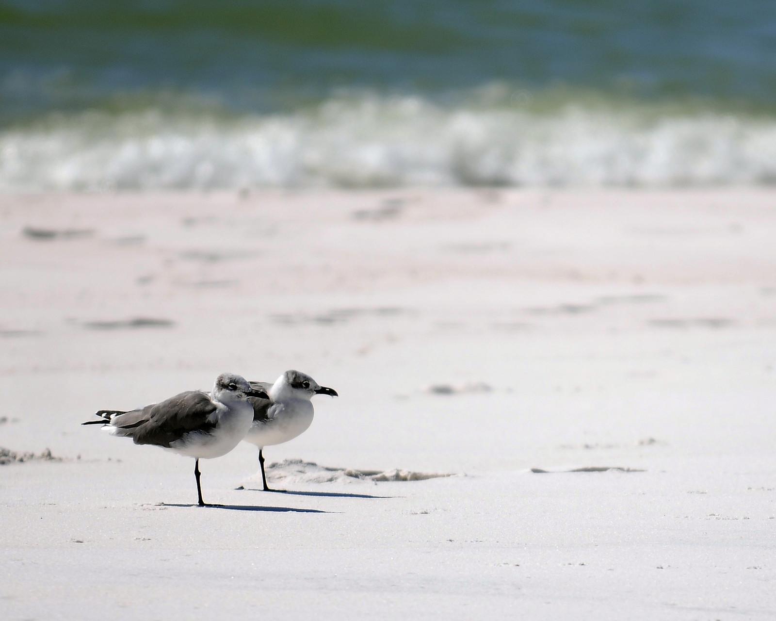 02_Möwen (gulls) in Fort Walton Beach in Florida