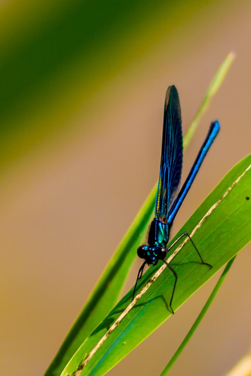 30_Libelle im Naturschutzgebiet Mönchbruch.