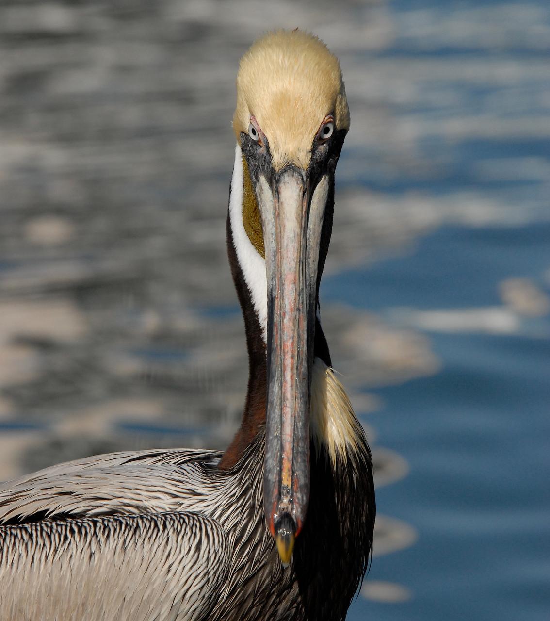 02_Pelikan (pelican) in Fort Walton Beach in Florida