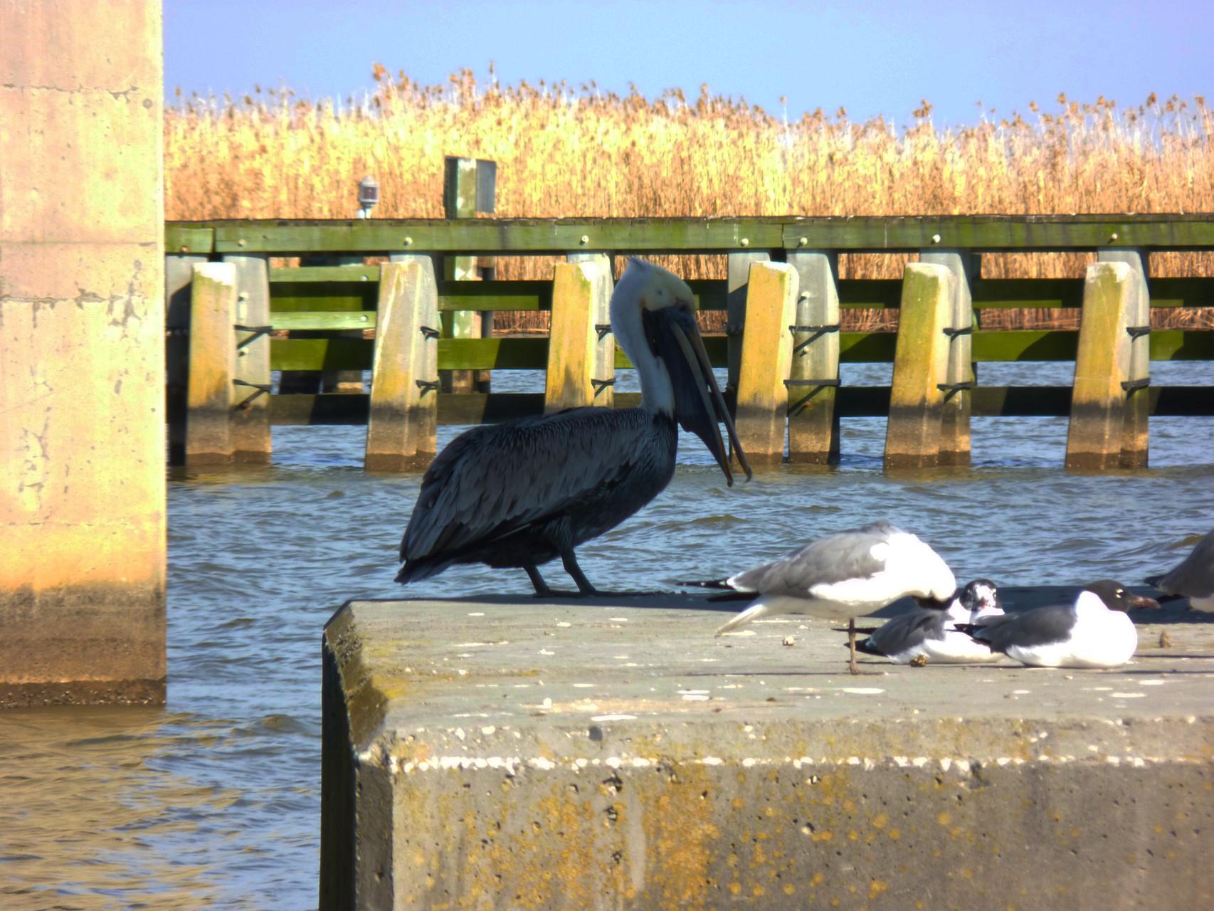 07_Pelikan (pelican) in Fort Walton Beach in Florida