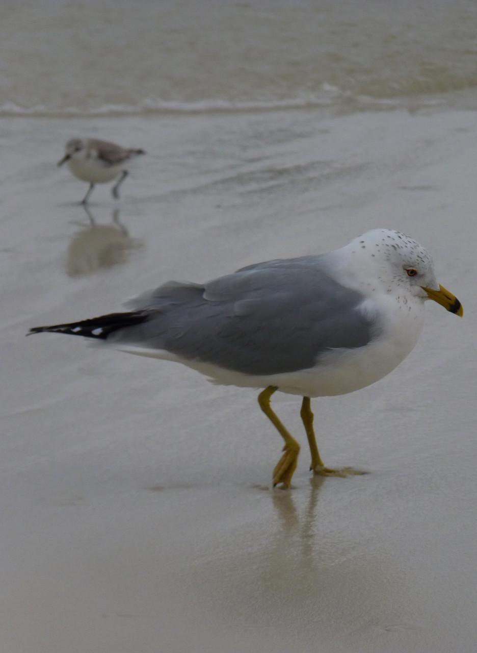 05_Möwe (gull) in Fort Walton Beach in Florida