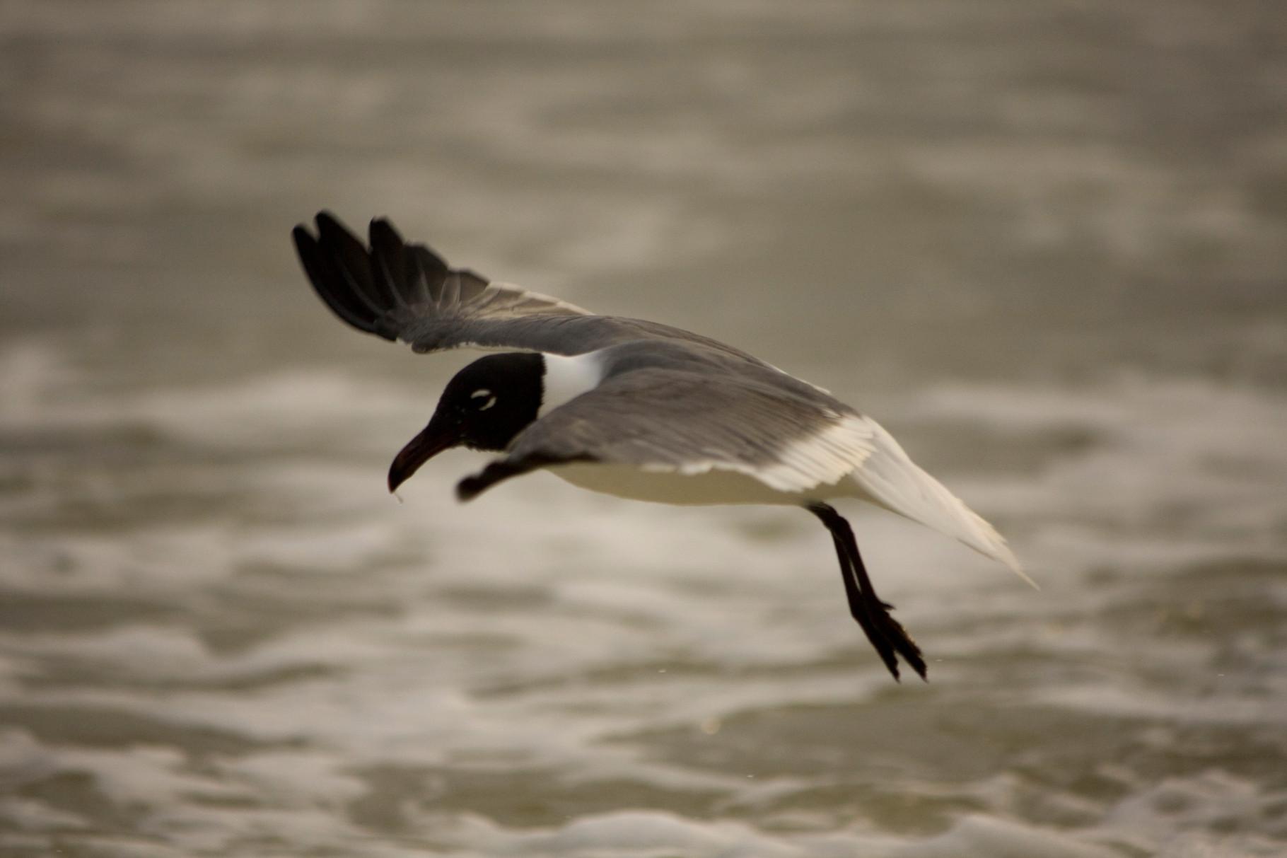 21_Möwe (gull) in Fort Walton Beach in Florida