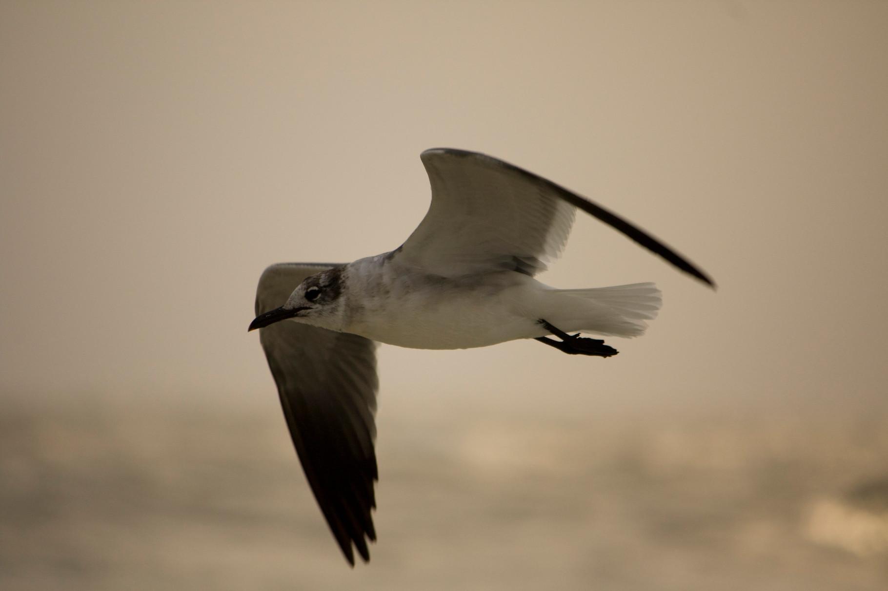 22_Möwe (gull) in Fort Walton Beach in Florida