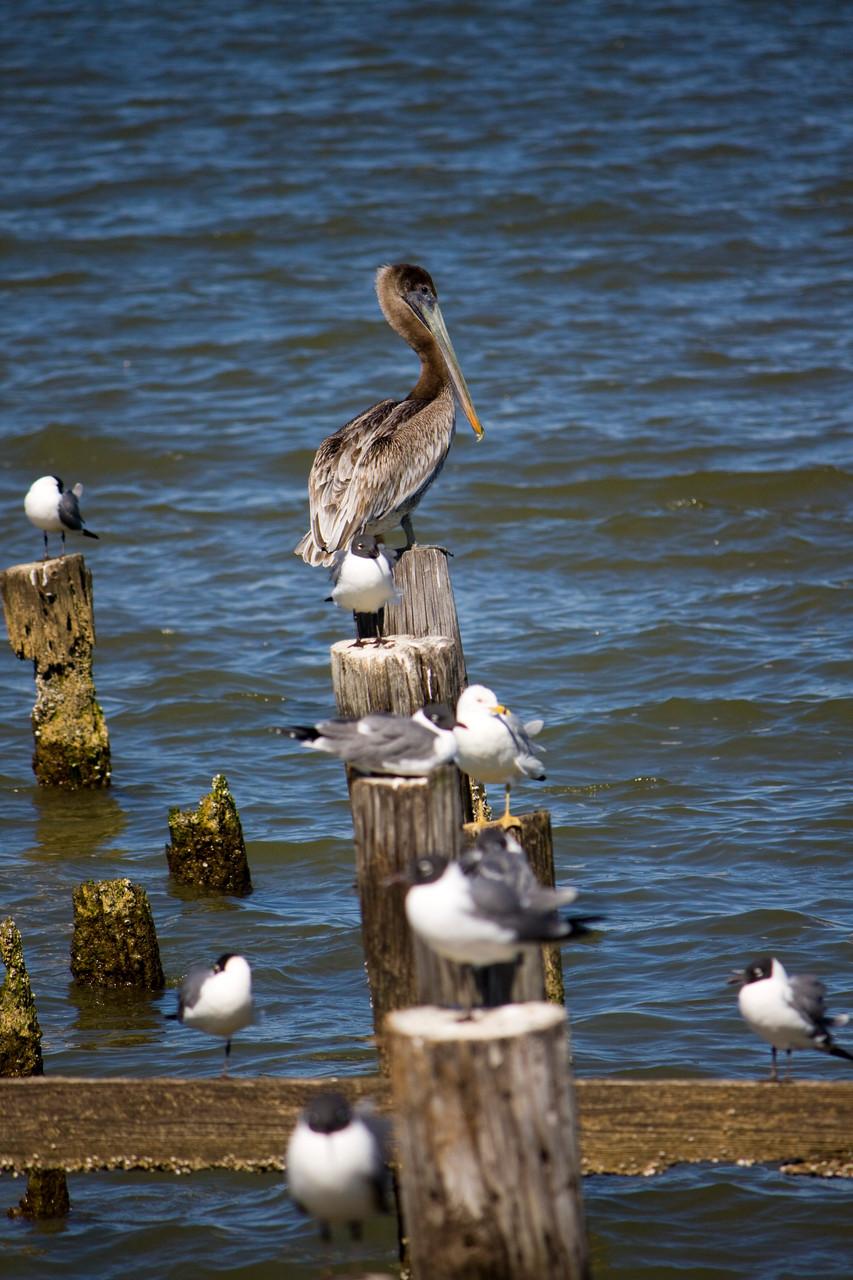 05_Pelikan (pelican) in Fort Walton Beach in Florida