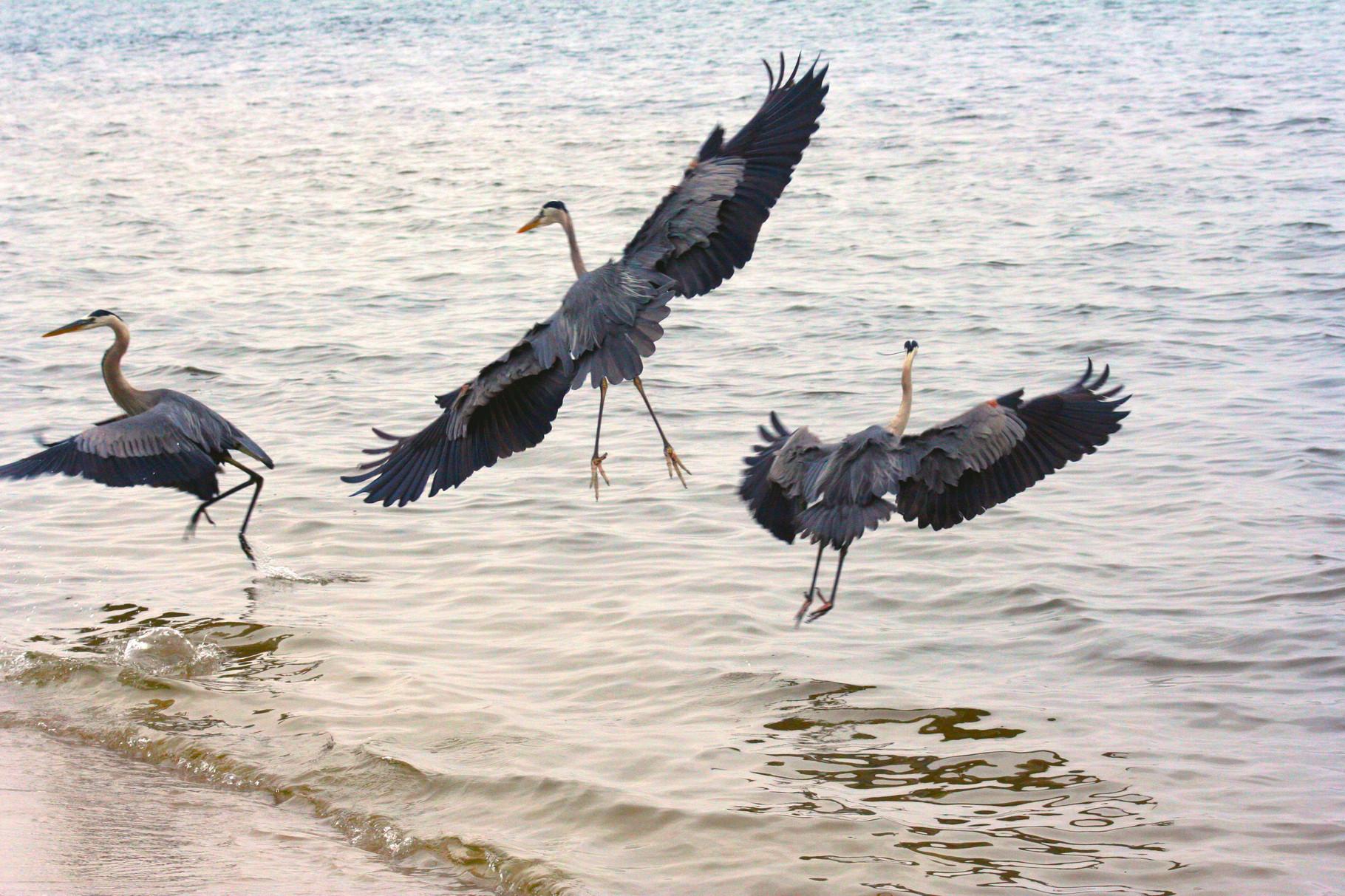 05_Graureiher (great blue herons) in Fort Walton Beach in Florida