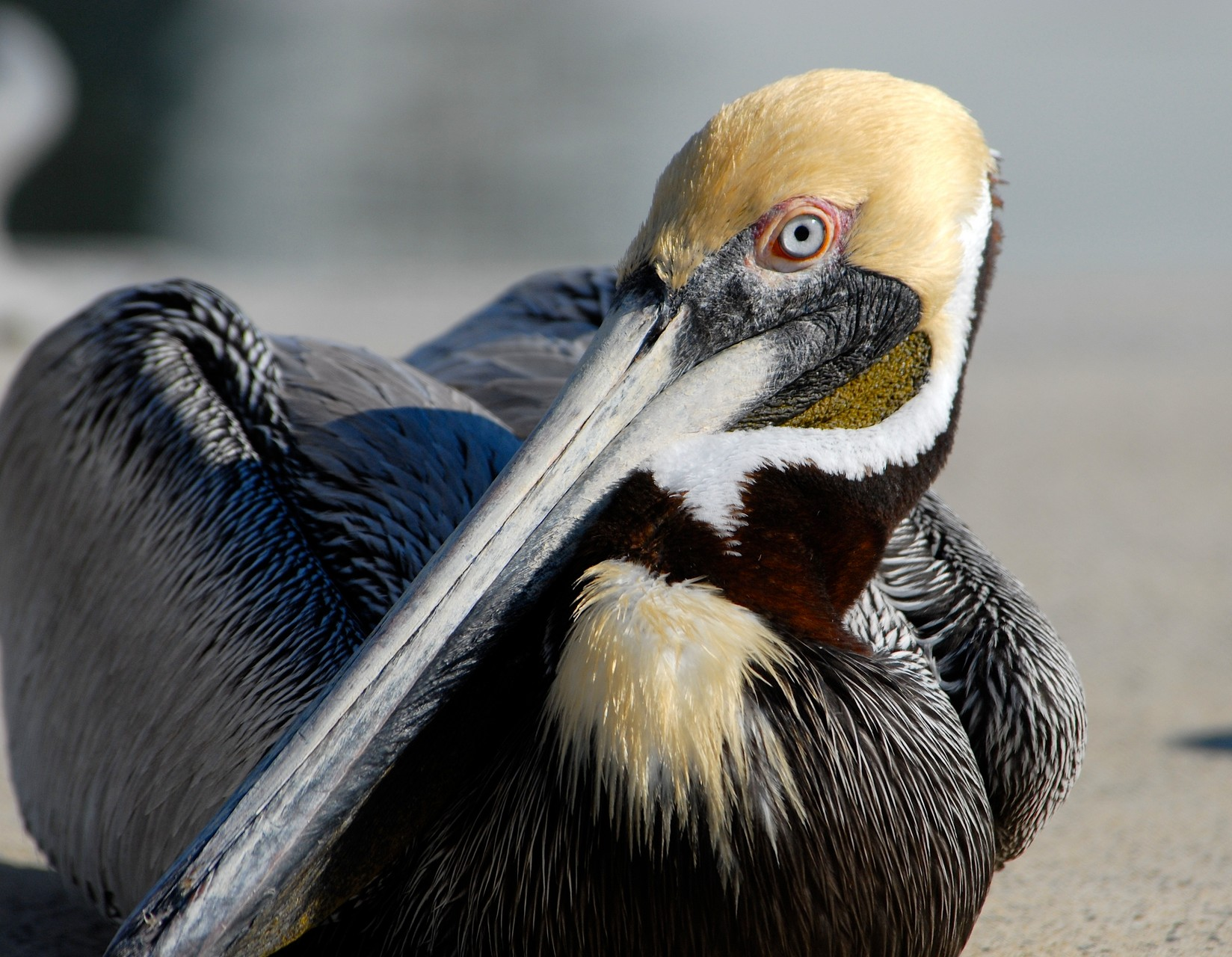 01_Pelikan (pelican) in Fort Walton Beach in Florida