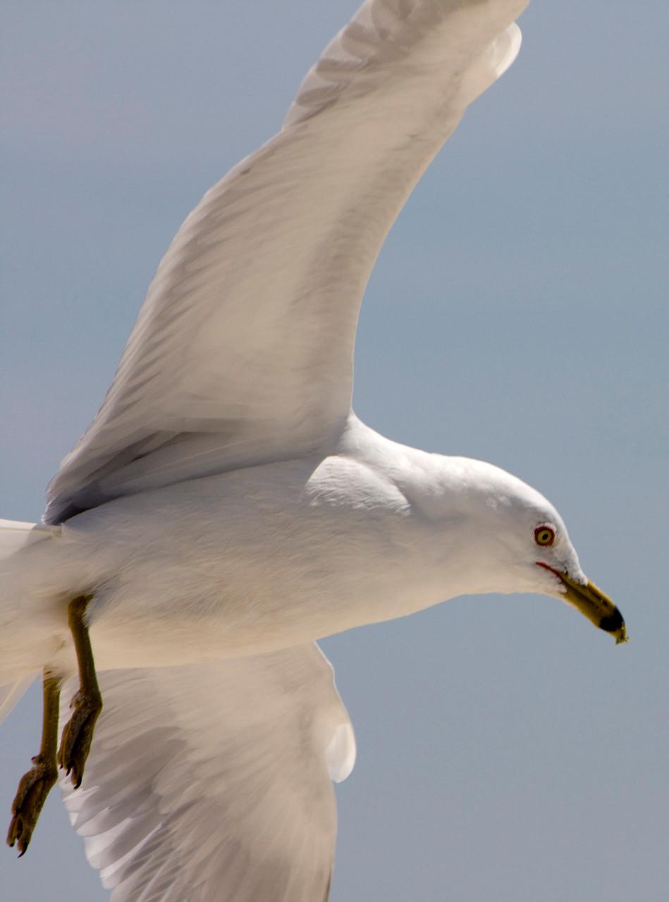 11_Möwe (gull) in Fort Walton Beach in Florida