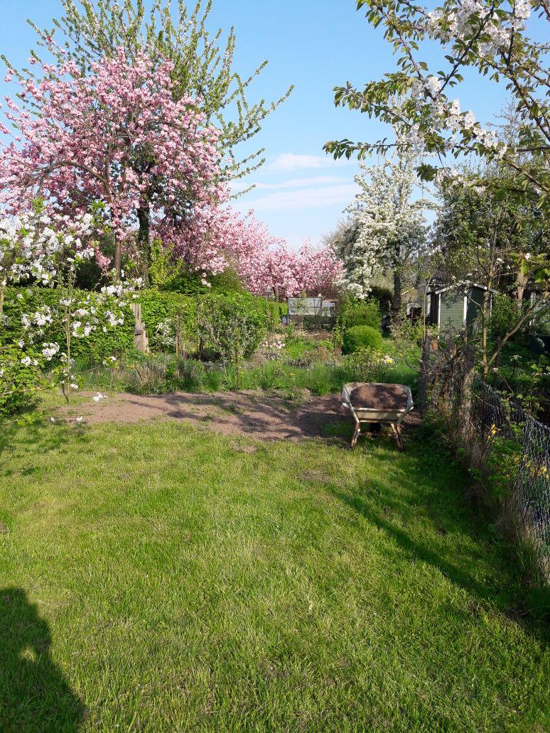 Obstbaumblüte in einem Kleingarten am Eichenweg der Altanlage April 2018
