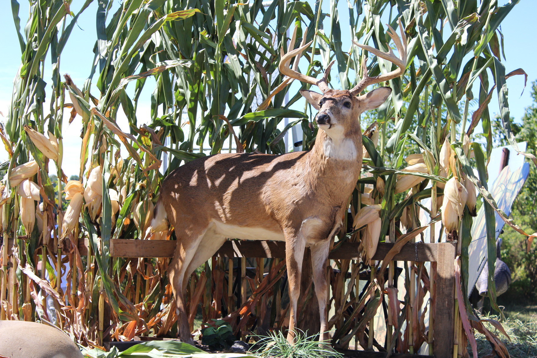 The Vannest Buck