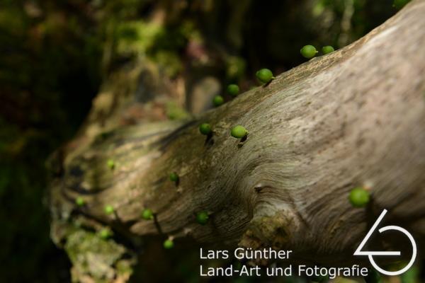 Juli 2021 noch grüne Beeren auf abgestorbenen Baum geheftet - Eichstätt Spindeltal (Kaninchenbau)