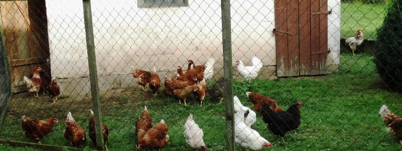 noch mehr Freiland-Hühner