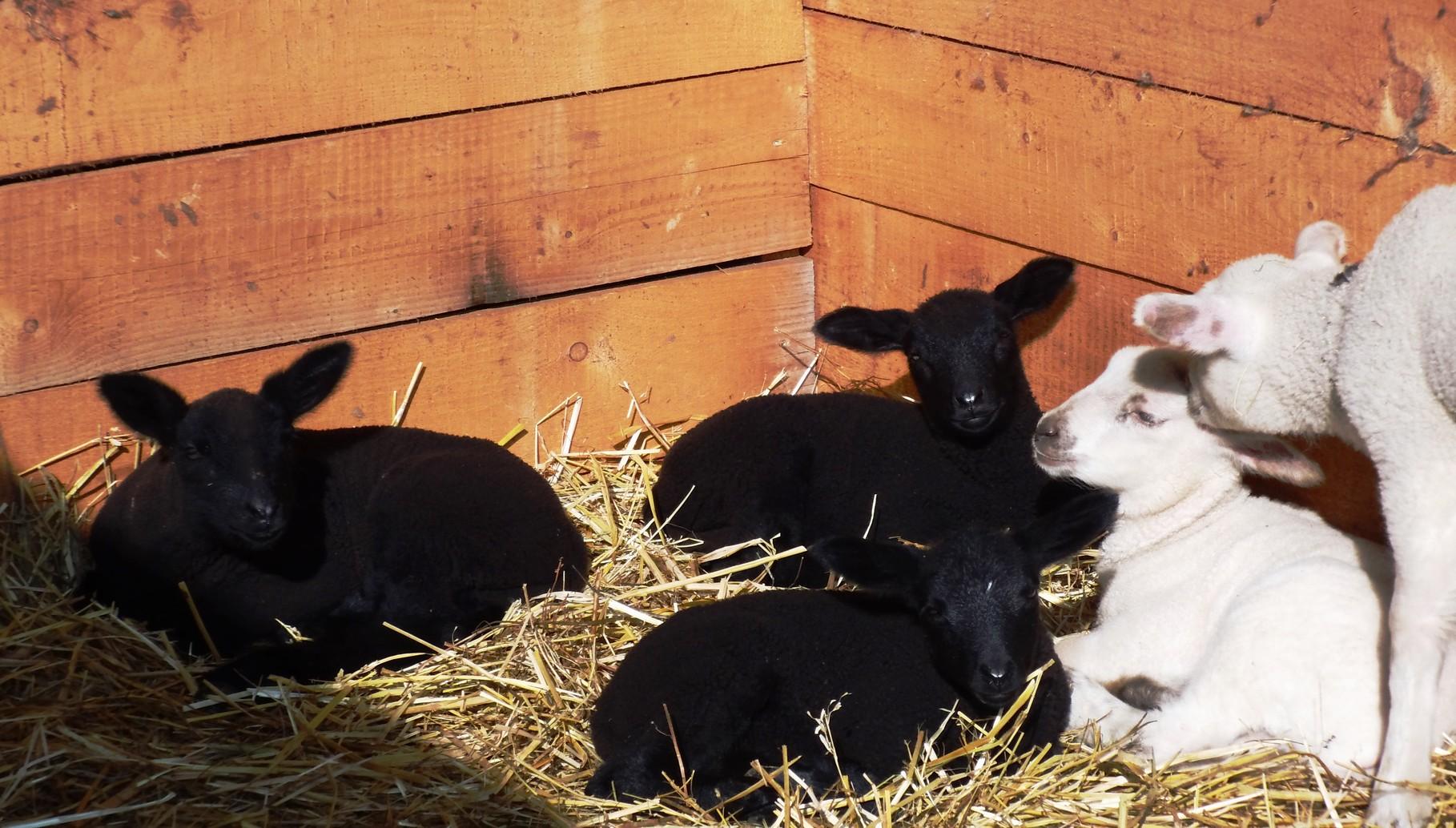 unsere Schaflämmer 2014 genießen die Sonne
