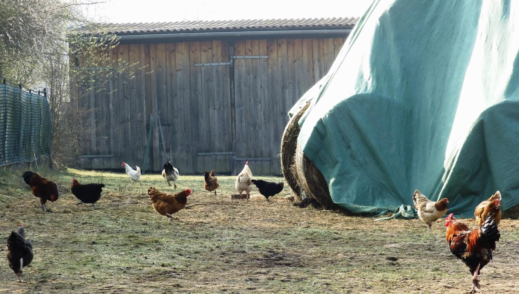 große Auslauffläche für unsere Hühner