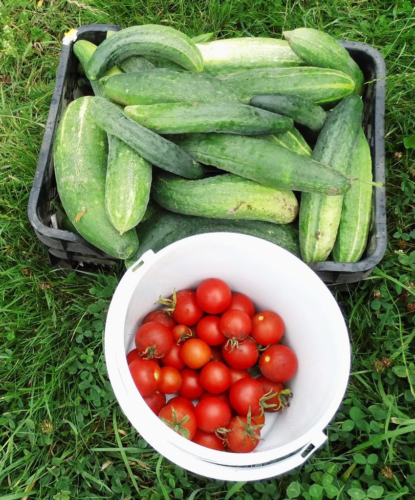 Gurken u. Tomaten - frisch aus unserem Garten
