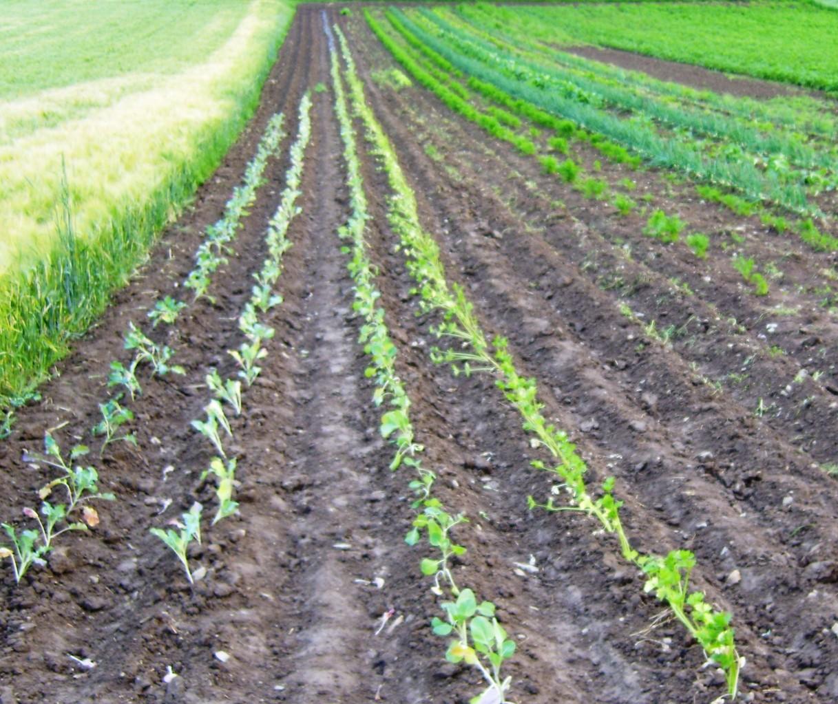 unser Gemüseacker in Fredelsloh