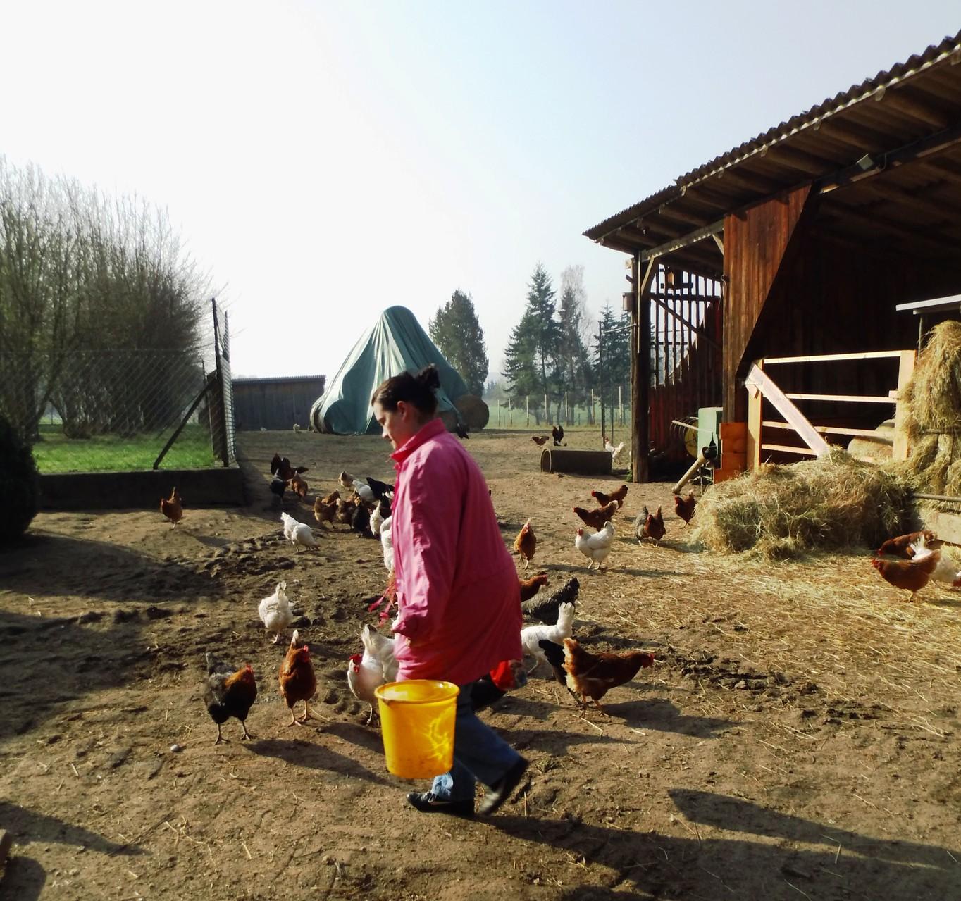 unsere Freiland-Hühner bekommen frisches Wasser