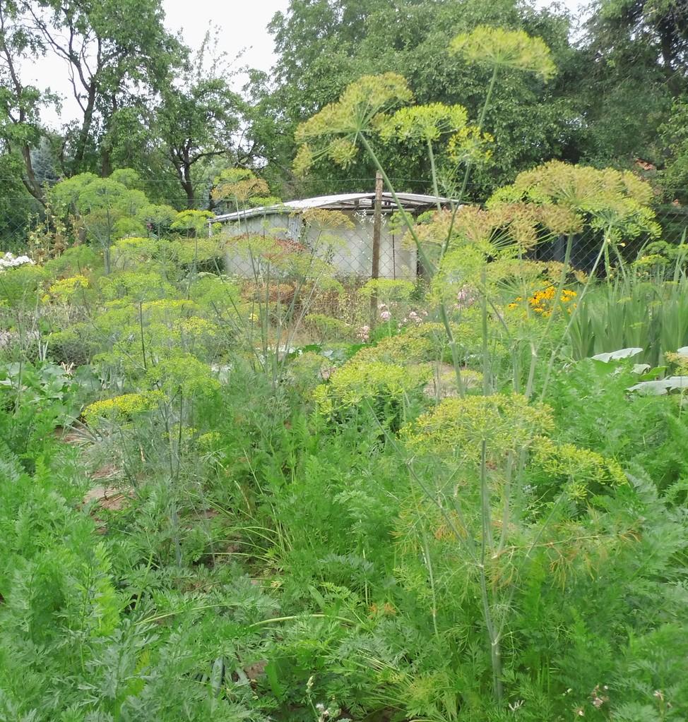 frischer Dill im Garten