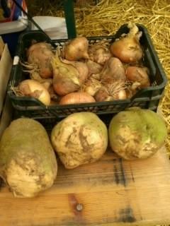 Zwiebeln u. Steckrüben - frische Ernte