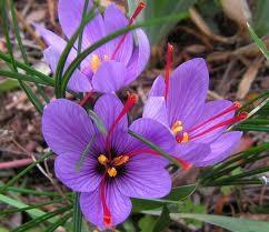 flores de açafrão orgânico