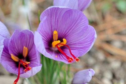 flor de açafrão orgânica