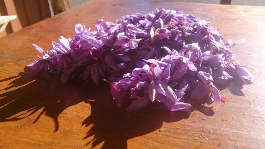 colheita de flores de açafrão orgânico