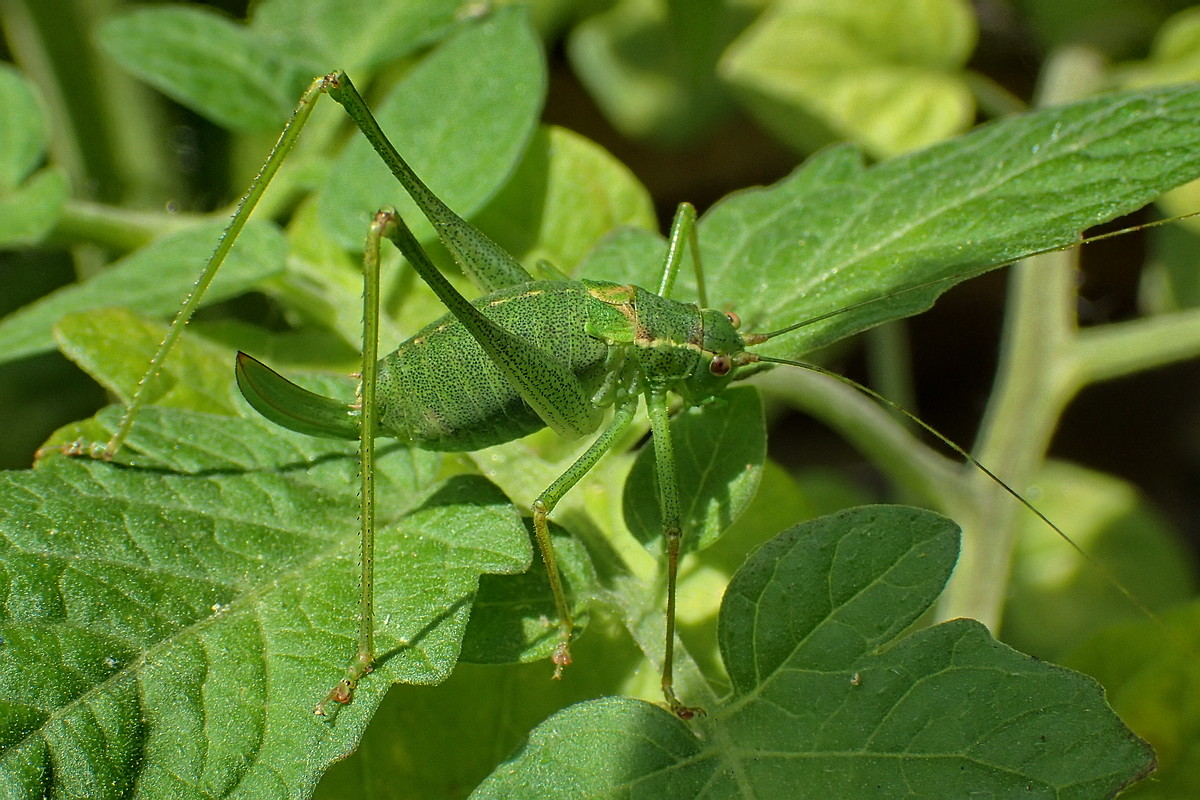 Punktierte Zartschrecke (Leptophyes punctatissima) W