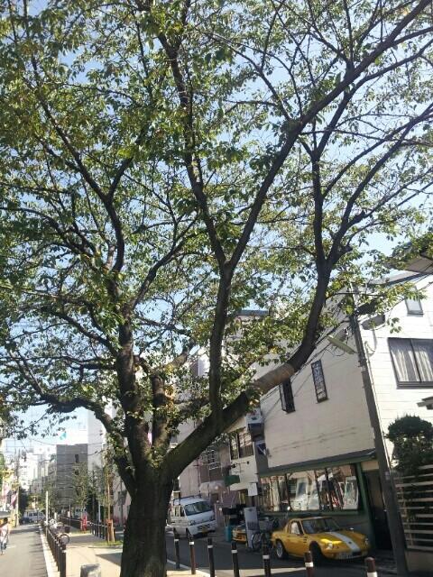 自由が丘の緑道の木
