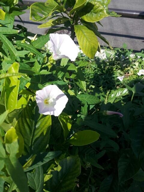 自由が丘の白い花