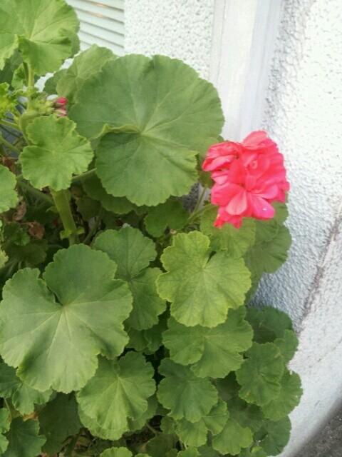 奥沢の道端のお花