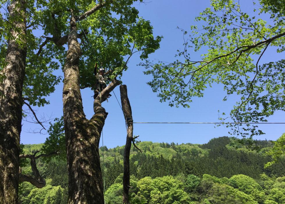 ウッドタワー工法による安全な巨木・高木伐採の様子。