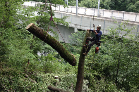 ウッドタワー工法による伐採樹木のロープコントロールの様子。