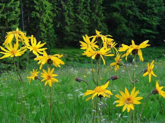 Arnika montana, das Bergwohlverleih blüht im Juni als gelber Teppich im Schiefergebierge