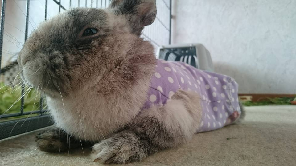 Nougat trägt einen Rehabody nach einer Hinterlaufamputation - vielen Dank fürs Foto